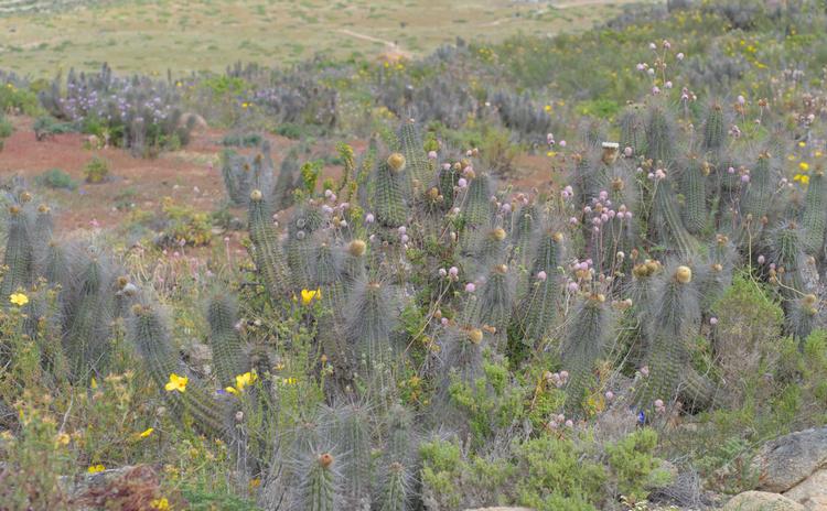 Flowering cactuses.