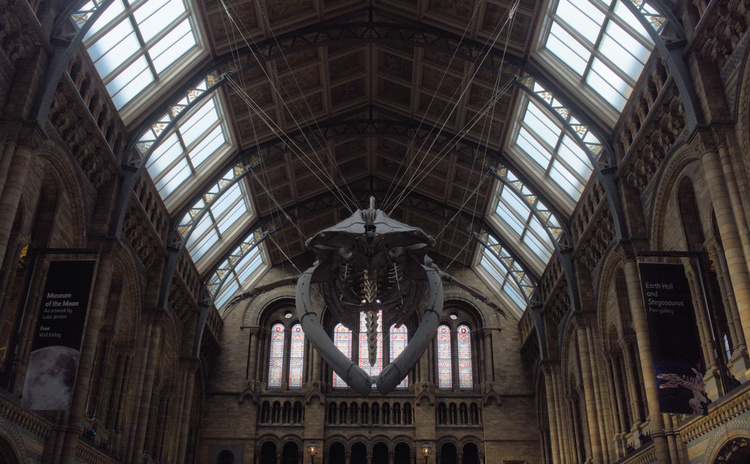 Whale in London's Natural History Museum Hall.