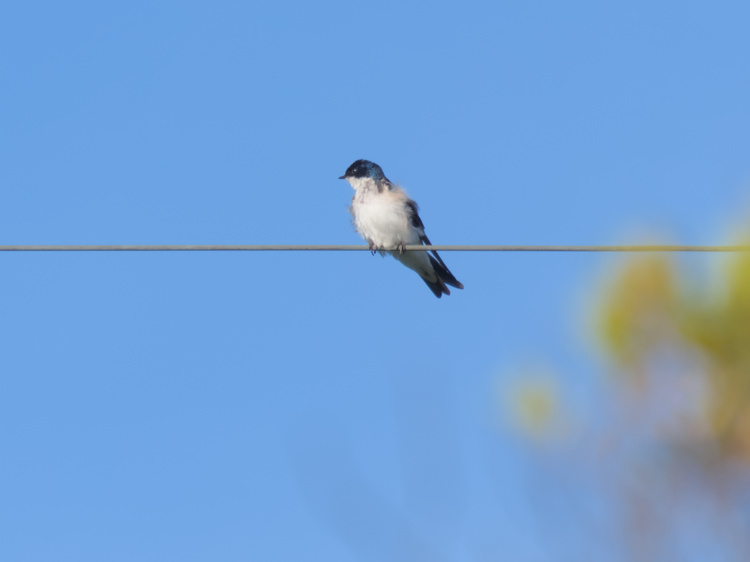 Chilean swallow (Tachycineta meyeni).