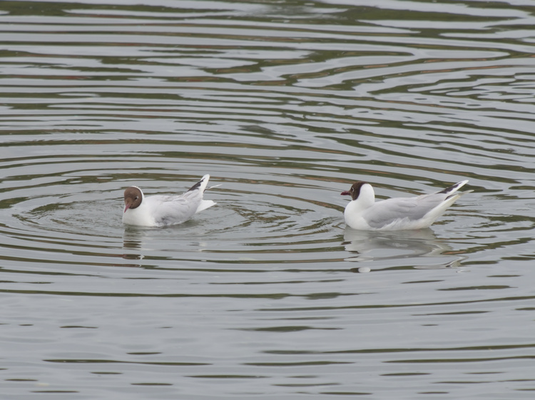 Brown-hooded gulls (Chroicocephalus maculipennis).