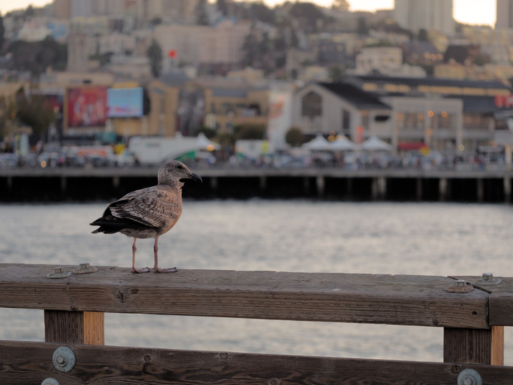 A seagull watching the horizon on Pier 41.