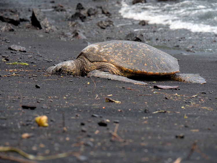 Turtles are protected by law. You have to maintain a minimum distance to them, to avoid distrubing them.