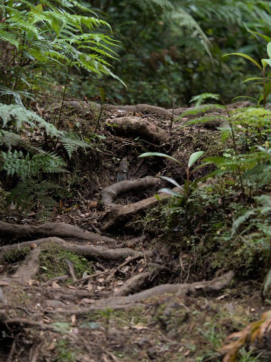Tree roots formed stairsteps in the trail.